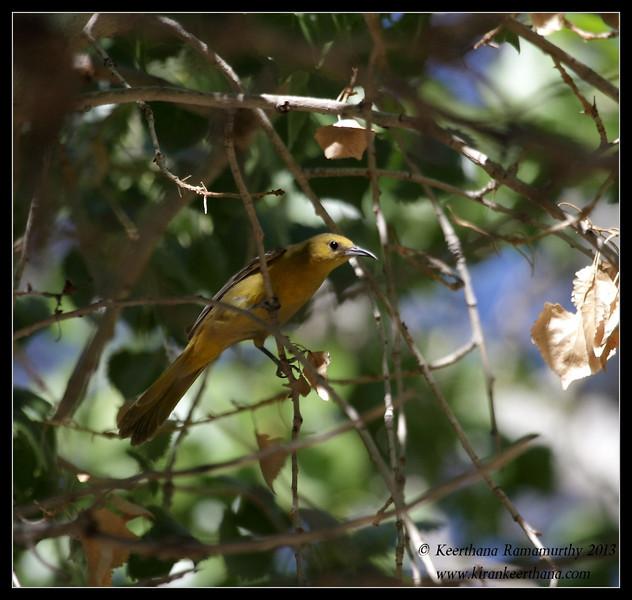 Hooded Oriole Female, Covington Park, Morongo Valley, Riverside County, California, May 2013