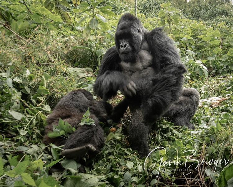 gorillas web-6.jpg
