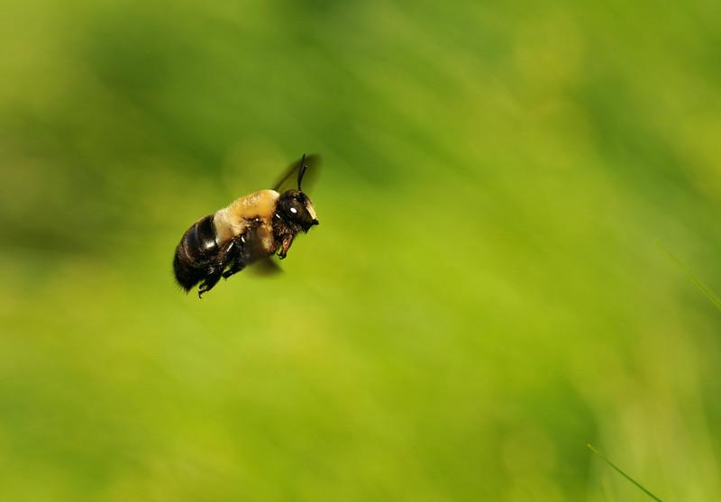 Carpenter Bee In Flight
