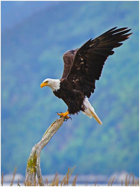 Bald eagle, Dyea flats.  Skagway, Alaska.