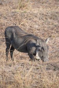 Warthog (1)