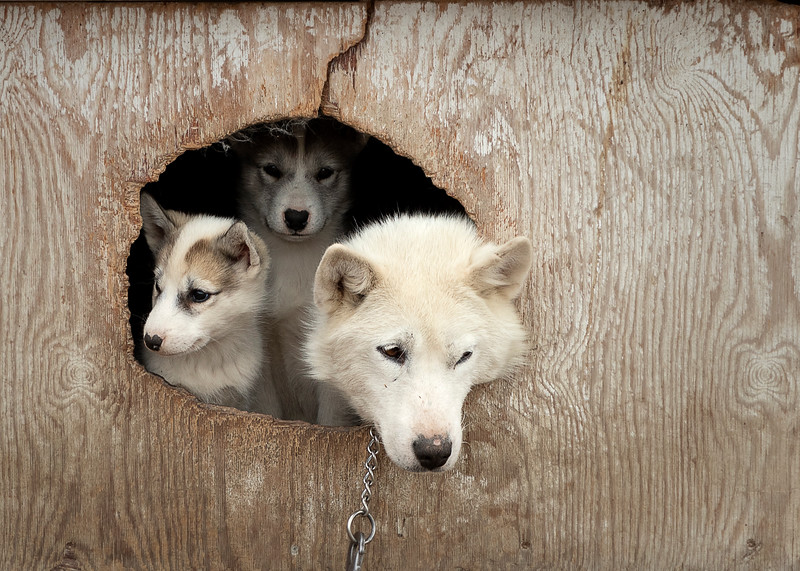 Greenland Sleddog and pups