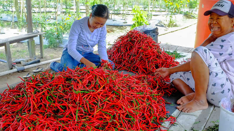 Harvesting Peppers