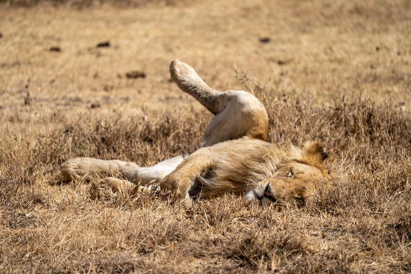Sleepy lion in the Ngorongoro Crater