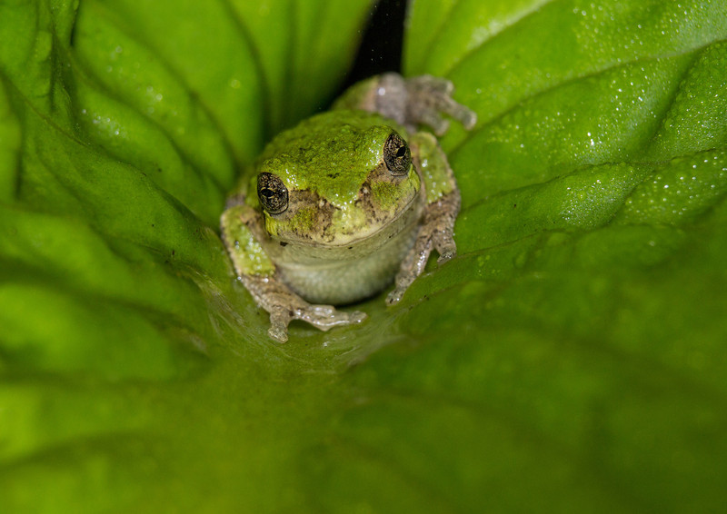 Gray Tree Frog Fifty Shades of Green Complete.jpg