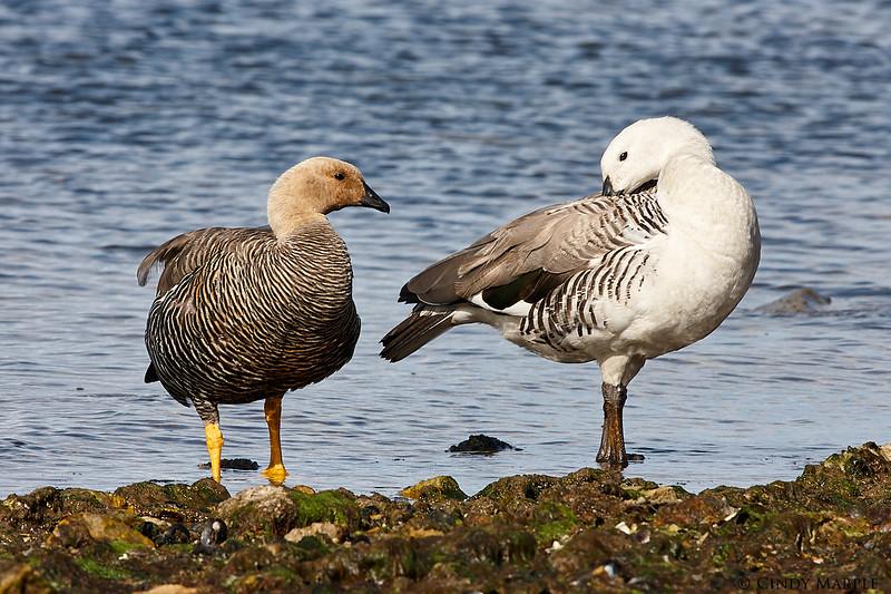 Upland Goose couple