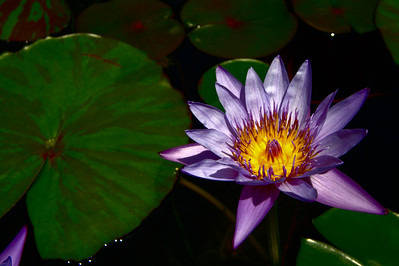Getty Villa - Purple Lotus