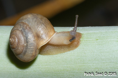 Asian Tramp Snail