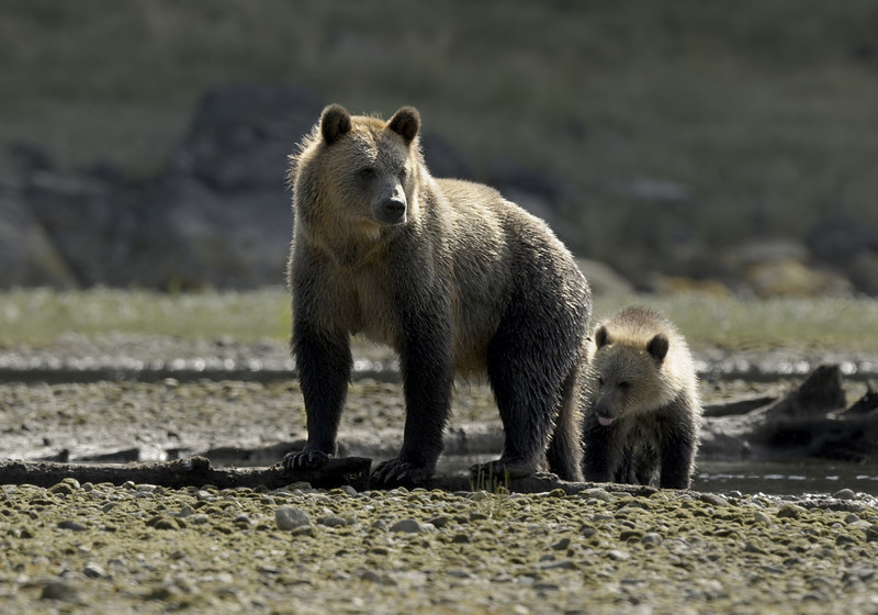 Grizzly and cub at Glendale Cove on Knight Inlet