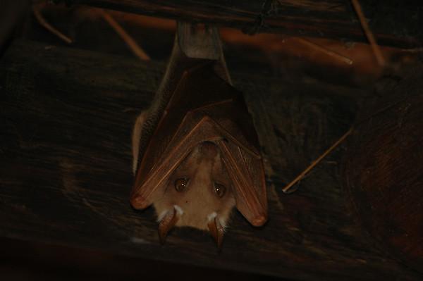 Kruger Bats