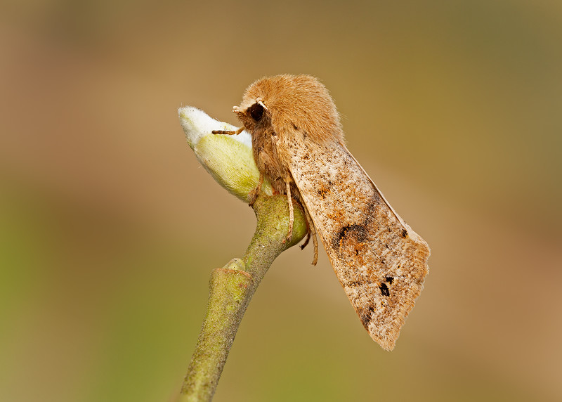 Twin-spotted quaker on willow
