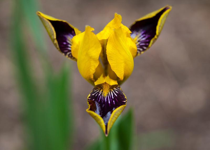 Bumble Bee Iris Coeur D Alene Lake Eagles