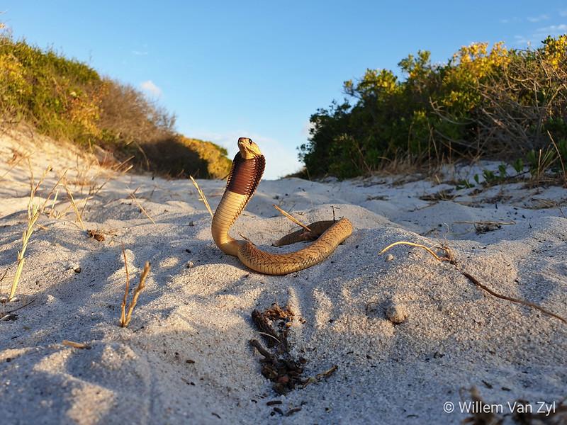 20181126 Juvenile Cape Cobra (Naja nivea)