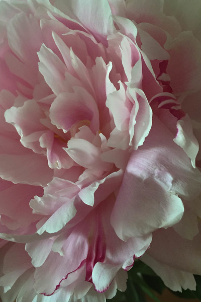 Pale Pink Peony vertical