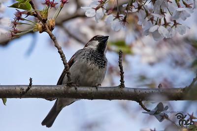 House Sparrow_2018-05-09