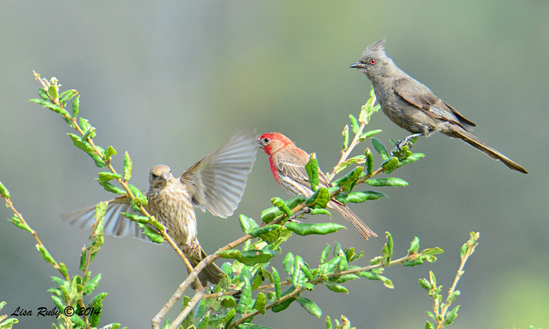 House Finch pair and Female Phainopepla - 7/13/2014 - Nancy's House, Ramona