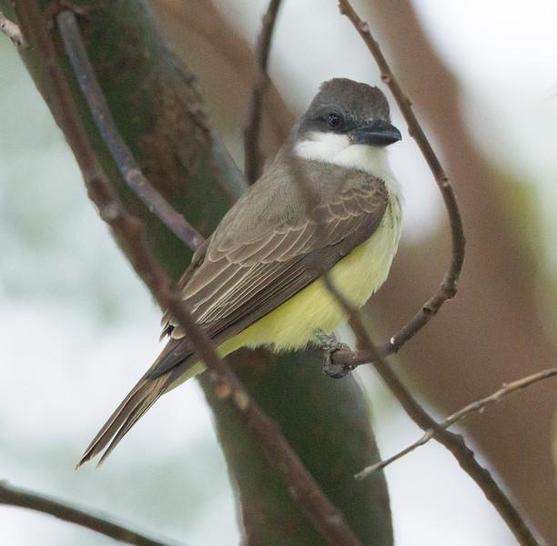 Thick-billed Kingbird Chula Vista 2015 01 31-2.CR2
