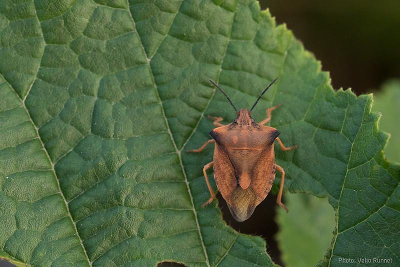 Carpocoris fuscipinus (most likely)