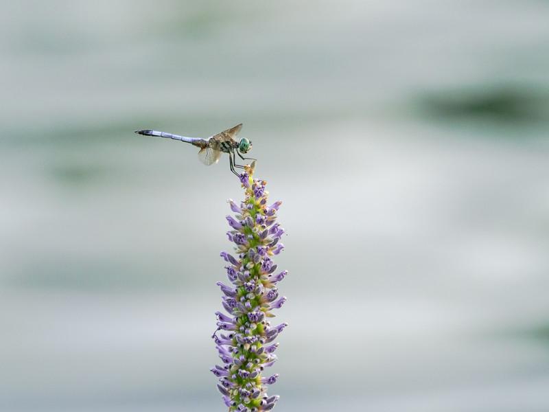 121 Aug 13 Dragonfly iii-1.jpg