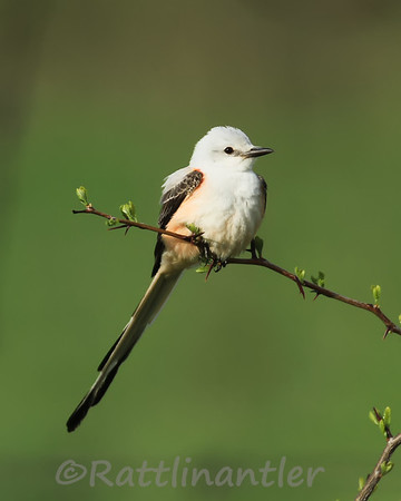 Kingbirds, Flycatchers, Phoebes, and Pewees