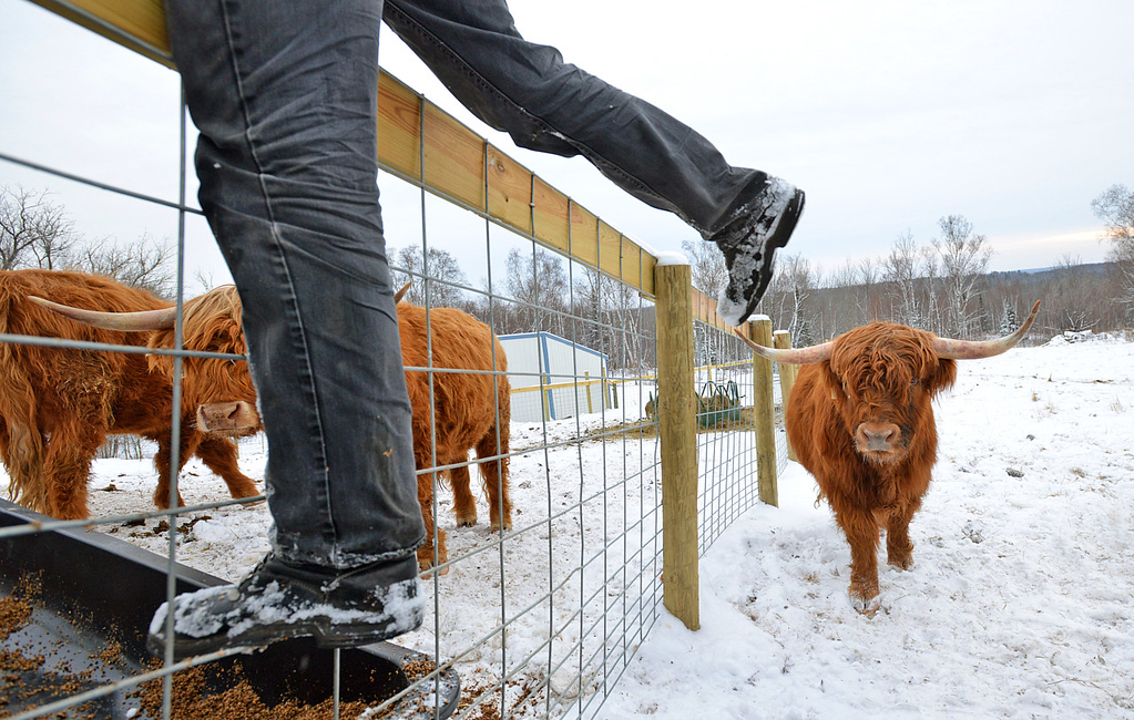 . Facilities manager Rob Strom scales a fence before feeding his herd of six Scottish Highland steers at his 80-acre farm in Twig, just west of Duluth, on Wednesday December 12, 2012. Strom is part of a group based at Fitger\'s Brewhouse in Duluth who will feed the herd spent grain from the brewing process, breed them and use the meat in their restaurant.  (Pioneer Press: Richard Marshall)