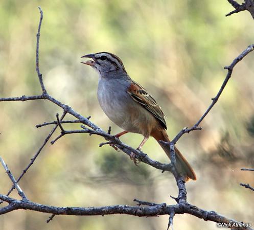 Sumichreast Cinnamon-tailed-Sparrow.jpg