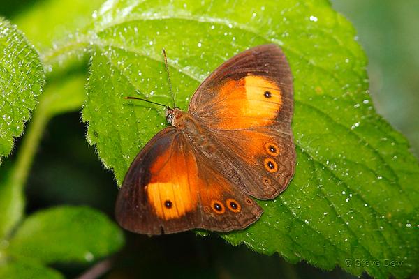 Orange Bush-brown