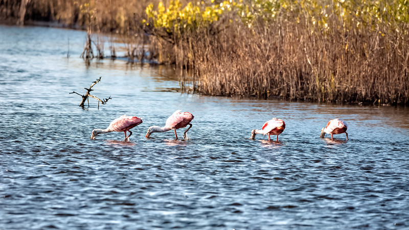 Roseate Spoonbills  -  This is what they do all day long!