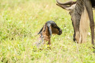 Tanzania- Birthing Wildebeest
