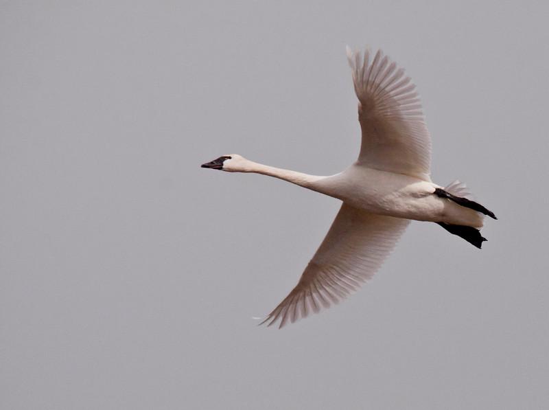 2011 swan migration aylmer (29 of 51).jpg