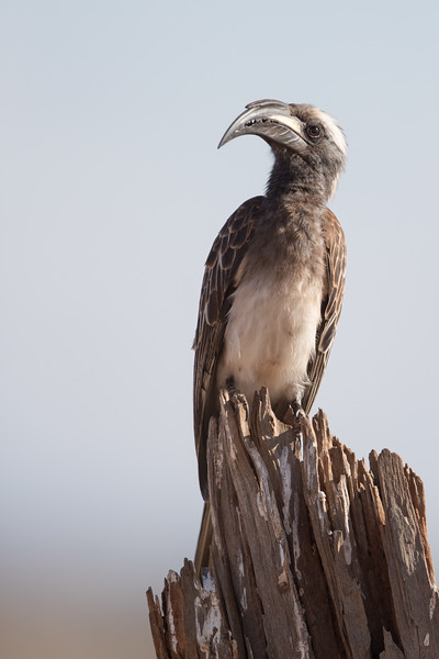 Black Billed Hornbill