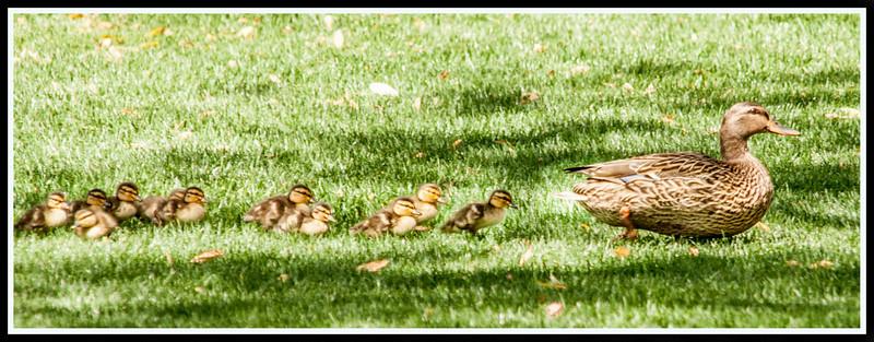 Duck Family III