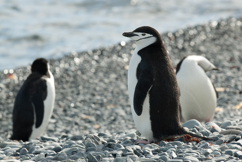 Chinstrap penguin in Half Moon Island, Antarctic Pensinsula region