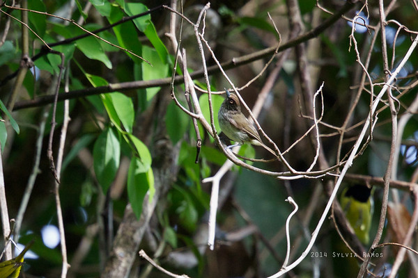Visayan Pygmy Babbler