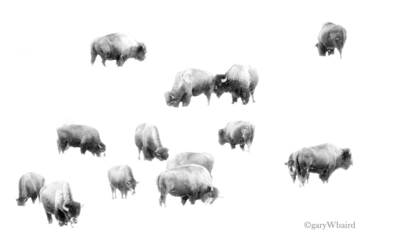 Bison Snow Abstract2.jpg