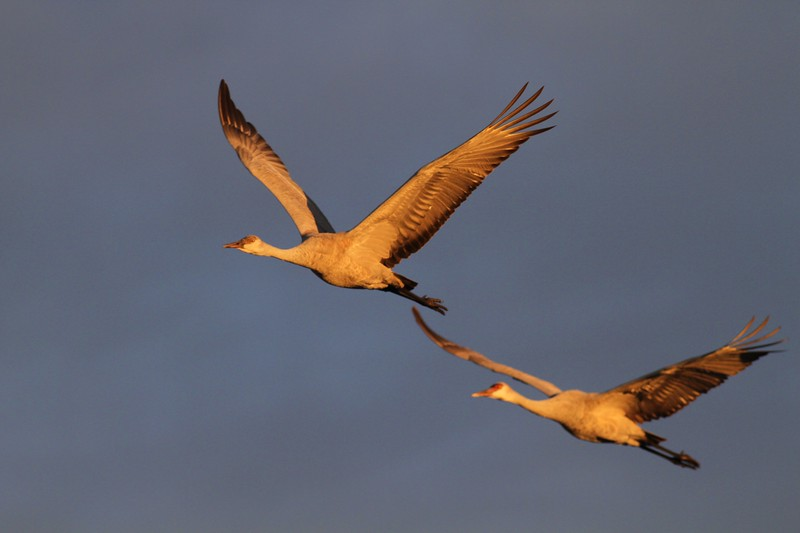 Sandhill Crane Bosque del Apache NWR Socorro NM Cranes and dark clouds_9297.jpg.jpg