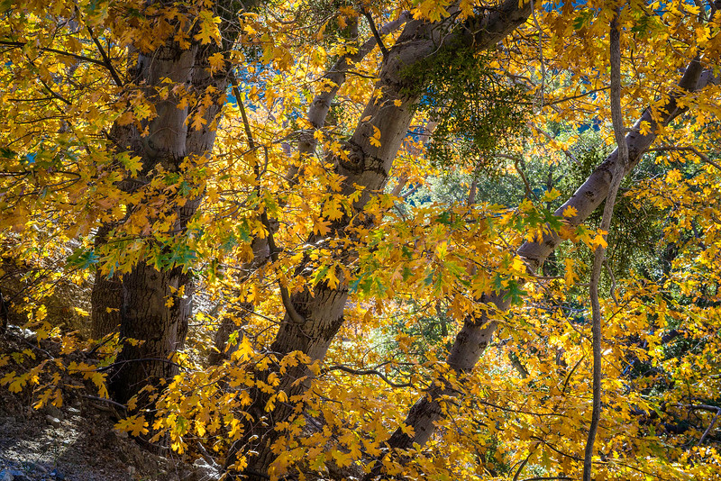 Fall_Color_San_Gabriel_Mountains_Black_Oaks_DSC3205.jpg