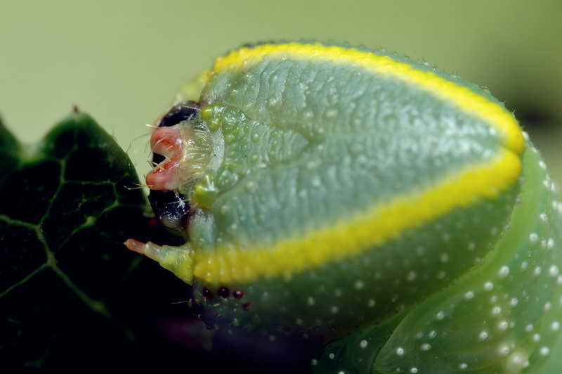 hornwormhead.jpg