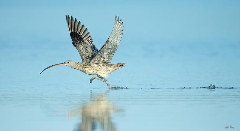 Eastern Curlew take off 5.jpg