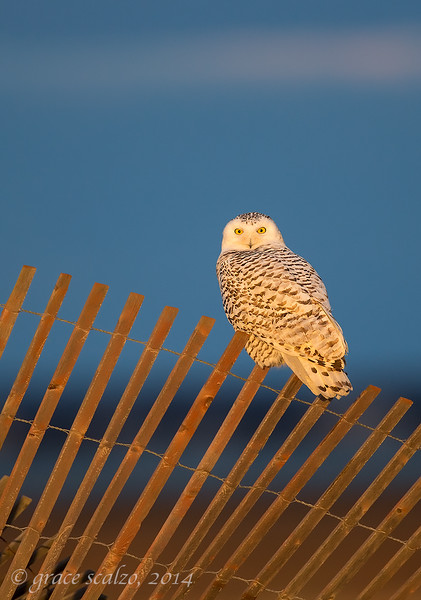 Snowy owl on Fence v2_O8U7366-Edit.jpg