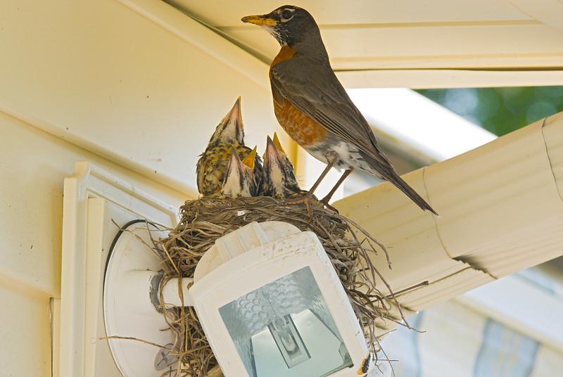 090 Spring 2007 Robin Nest.jpg