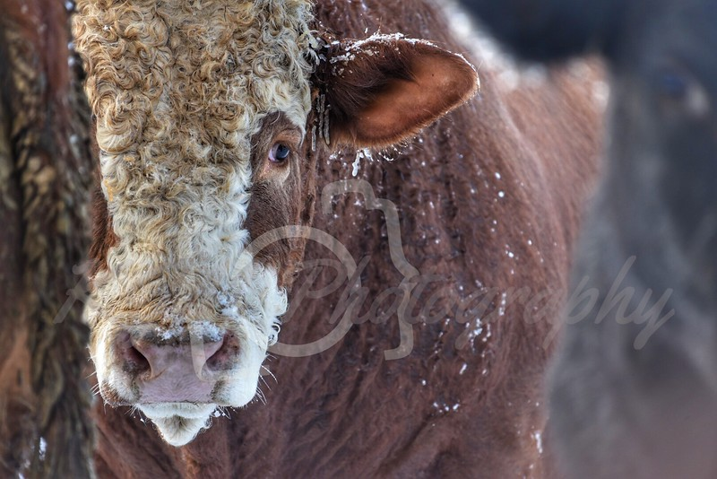 Fleckvieh & Cross Cattle