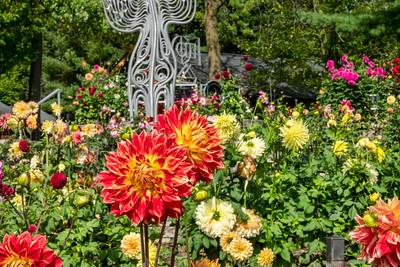 Dahlias, accent, identified cultivars