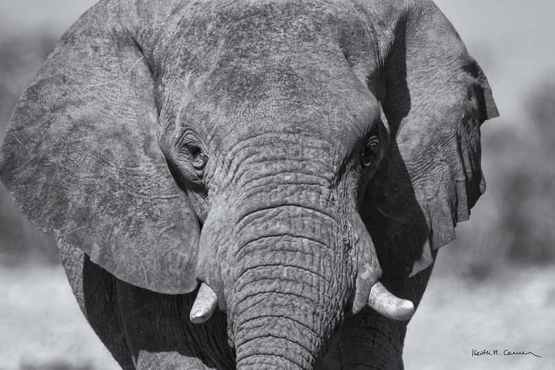 Elephant bull closeup