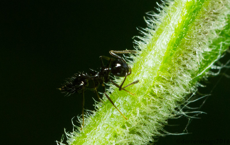 Black ant (Crematogaster sp.) from Monteverde, Costa Rica.