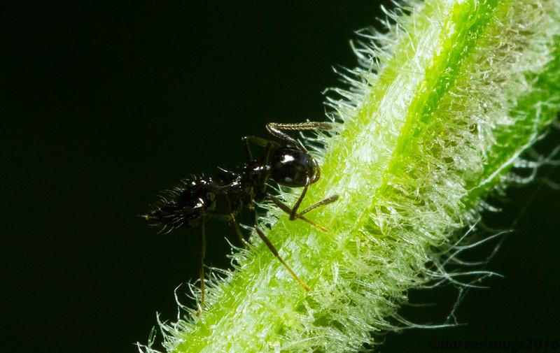 Black ant (Crematogaster sp.) from Monteverde, Costa Rica.