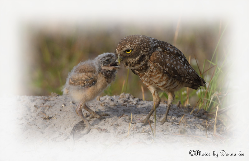 Burrowing Owls,  Mom what's for breakfast