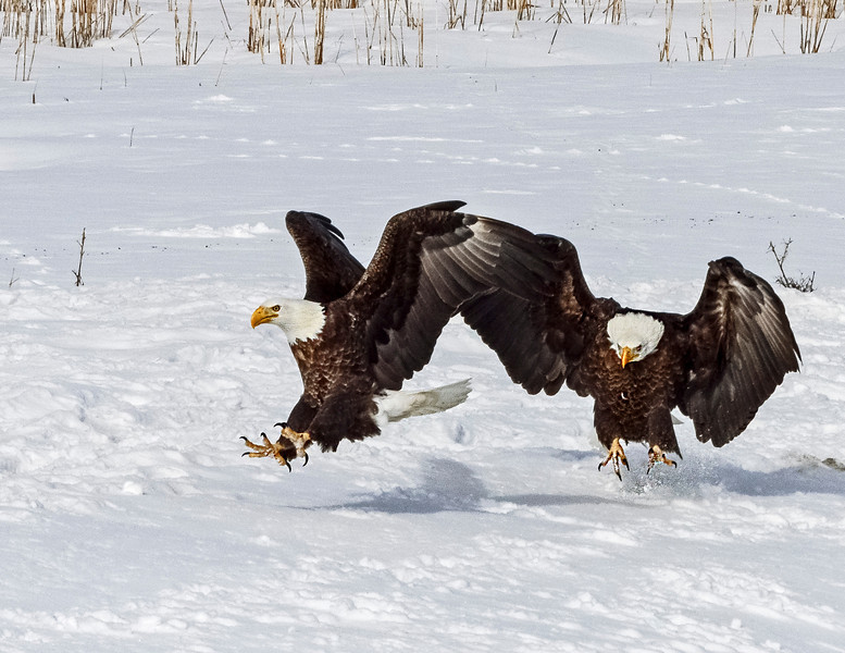Bald Eagle antics.  Fun to watch them when arguing over a fish.