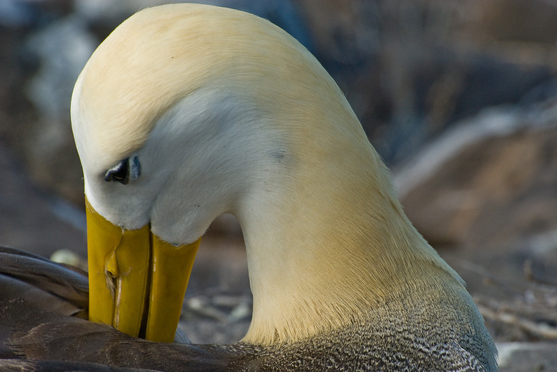 Waved Albatross, Espanola Island, Point Suorez, Galapagos