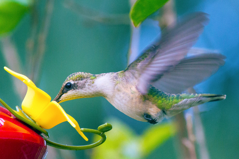 Ruby-throated humming bird, 11